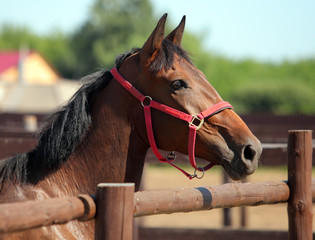 Thoroughbred bay horse against corral wooden fence background