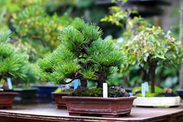 Keuken foto achterwand Bonsai Beautiful bonsai tree in Japanese garden