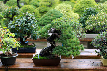 Beautiful bonsai tree in Japanese garden