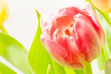 tulpe blüte frühling