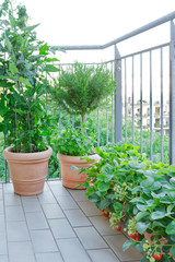 strawberry tomato rosemary plants pots balcony