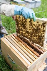 Apiculture - abeille construisant les alvéoles de cire sur un cadre