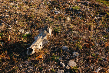 Close-up background of bull's head skeleton lies on the ground