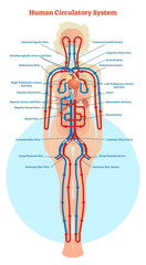 Human Circulatory System vector illustration diagram, blood vessels scheme