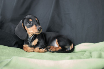 puppy Dachshund on a black background wrapped in green blanket