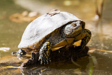 tortue d'eau douce