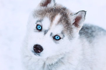 winter portrait of a cute blue-eyed husky puppy against a snowy nature background