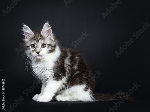 Black silver classic tabby white Maine Coon kitten / young cat