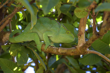Parson's Chameleon - Calumma parsonii, rain forest Madagascar east coast. Colourful endemic lizard.