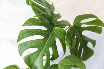 close up picture of a sprayed monstera house plant. Fototapete