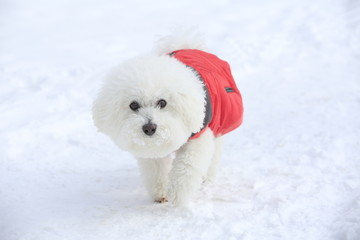 The breed is Bichon Frise