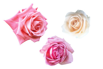 Groups of Roses isolated on white background with clipping path.