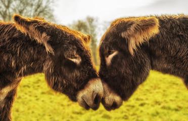 Foto auf Gartenposter Esel Eselpaar blickt sich in die Augen - A pair of donkeys looks into their eyes