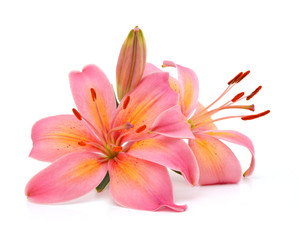 Two pink lily flowers. Isolated on white background