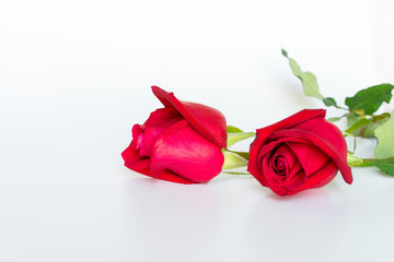 The beautiful fresh red roses on the white background.
