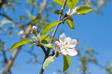 Zarte Apfelblüte im Frühling, Niedersachsen, Deutschland, Europa