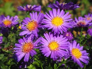 Herbstblume strahlend in violett!!