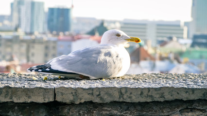 Seagull close up with city view behind