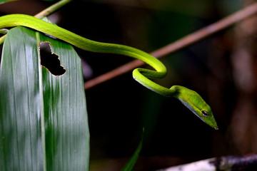 Oriental whipsnake, Sarawak, Malaysia