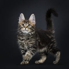 Classic brown tabby Maine Coon cat / kitten walking / playing isolated on black background