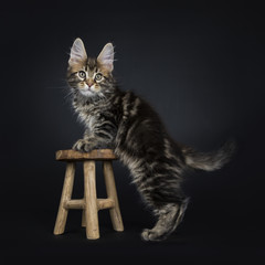 Classic brown tabby Maine Coon cat / kitten standing on wooden stool isolated on black background
