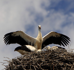 White Stork birds on a nest during the spring nesting period