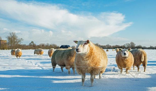Herd of sheep in dutch winter countryside.