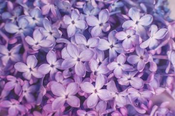 A beautiful bunch of lilac closeup. Bush Bloom. flowers in the garden.