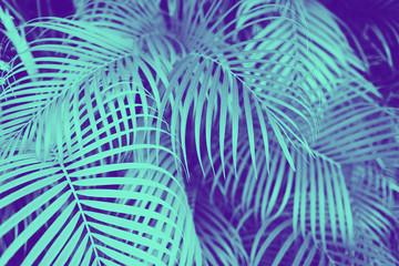 liście palmowe z drzewa palmowego o barwie ultra fioletowej i niebieskiej