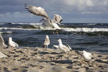 bawiące się mewy na wiosennej plaży nad Morzem Bałtyckim