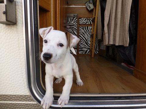 Perro Cachorro de Jack Russell en autocaravana en Pamplona,España