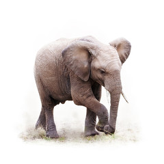 Baby African Elephant Isolated on White