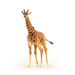Baby Giraffe Isolated on White