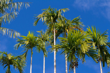 View of palm trees , Martinique island.