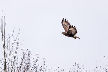 Buzzard in flight
