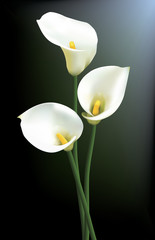 Three calla lilies isolated on a dark background.