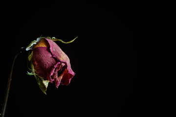 Dramatic withered rose on black background