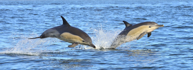 Dolphins, swimming in the ocean. Dolphins swim and jumping from the water. The Long-beaked common dolphin (scientific name: Delphinus capensis) in atlantic ocean.