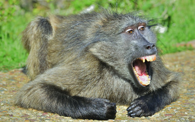 Baboon with open mouth   exposing canine teeth. The Chacma baboon,  Sciencific name:Papio ursinus, also known as the Cape baboon. South Africa