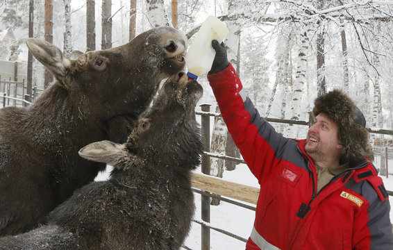 A zoo keeper hand feeds elks at a zoo in Krasnoyarsk