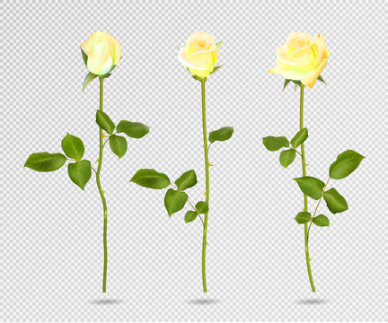 Vector set of yellow rose flower. 3d roses isolated on transparent, vector illustration. Realistic flowers vector collection