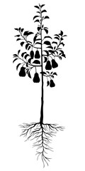 Silhouette pear tree seedling with fruits