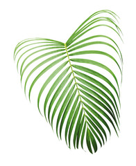Green tropical leaf of yellow palm isolated on white background with clipping path