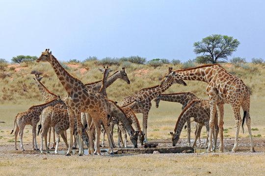 Giraffen am Wasserloch bei Mata Mata