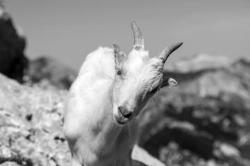 Wall Mural - Young goat curiously looks into the camera, Alps of Slovenia