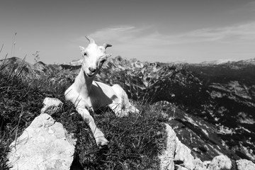 Wall Mural - Smiling young goat sits relaxed on the meadow, stretching out a leg and looking into the camera