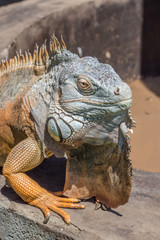 Iguana portrait sitting on well wall - Lizard background