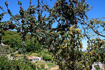 Cherries ripening on a tree in the Monchique mountains, Monchique, Algarve, Portugal.