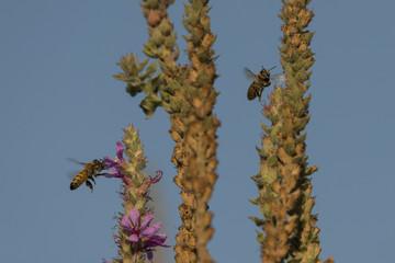 Honigbienen im Flug