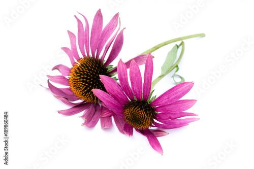 Sonnenhut Blume Pflanze isoliert freigestellt auf weißen Hintergrund ...